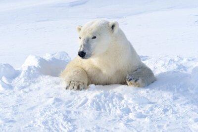 Papiers peints Polar mère ours sortant den fraîchement ouvert