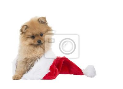 Poméranie chiot mignon assis dans le chapeau de Père Noël à fond blanc