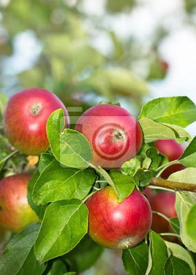 Pommes organiques fraîches dans le jardin