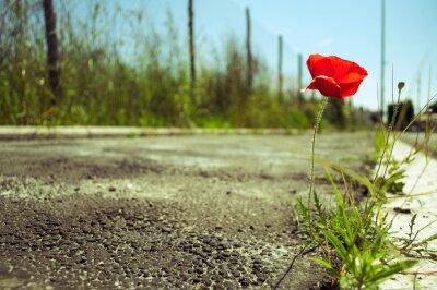Papiers peints Poppy fleur dans le béton: le pouvoir de la vie concept