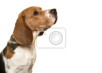 Portait of beagle dog looking up seen from the side on a white background
