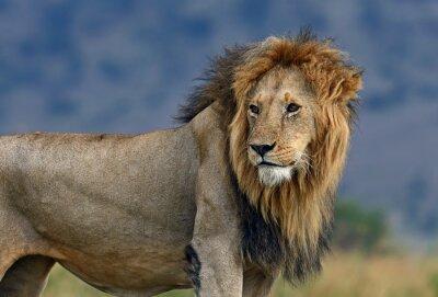 Papiers peints Portrait, africaine, lion