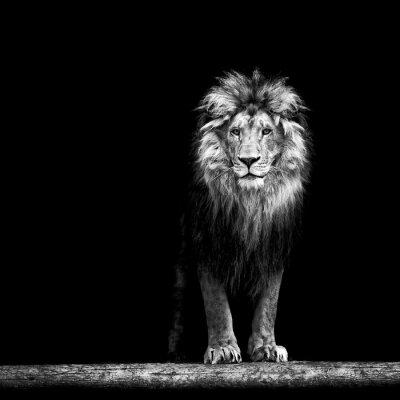 Papiers peints Portrait, beau, lion, lion, sombre