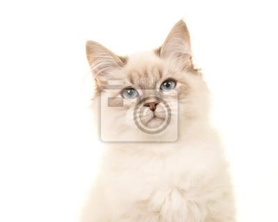 Portrait, birman, chaton, chat, bleu, yeux, blanc, fond