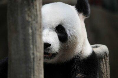 Papiers peints Portrait d'ours panda