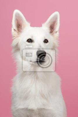 Portrait d'un berger blanc suisse à un fond rose
