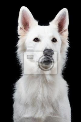 Portrait d'un berger blanc suisse mignon à un fond noir