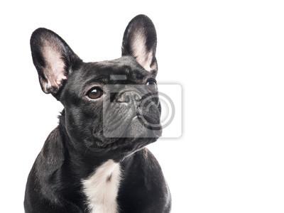 Portrait d'un bouledogue français mignon regardant un fond blanc