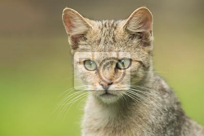 Portrait d'un chat sauvage sur fond vert