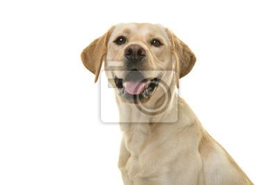 Portrait d'un chien labrador retriever blond regardant la caméra avec la bouche ouverte vue de côté