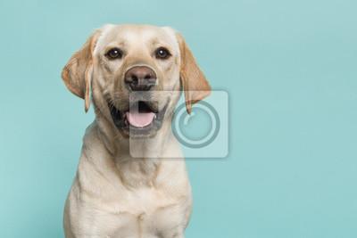 Portrait d'un chien labrador retriever blond regardant la caméra avec la bouche ouverte vue de face sur un fond bleu turquoise