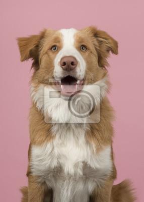 Portrait d'un chien rouge border collie sur fond rose avec la bouche ouverte