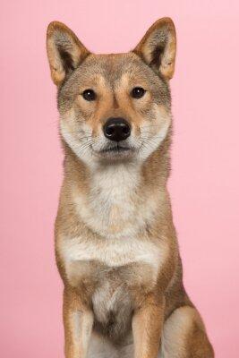 Portrait d'un chien Shikoku de race japonaise en regardant la caméra sur fond rose