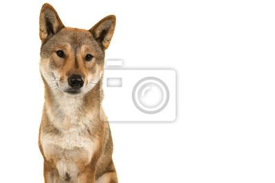 Portrait d'un chien Shikoku de race japonaise jetant un coup d'œil isolé sur fond blanc