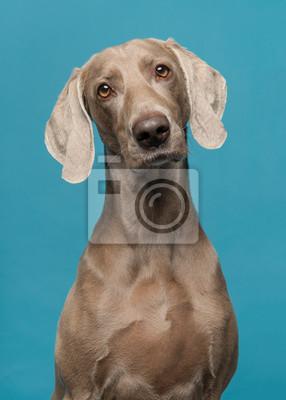 Portrait d'un chien weimaraner fier sur un fond bleu