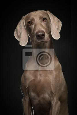 Portrait d'un chien weimaraner fier sur un fond noir