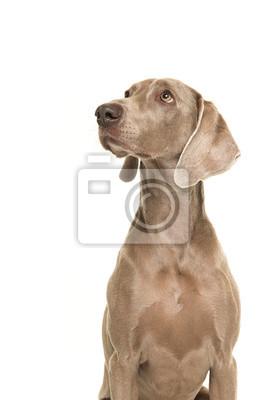 Portrait d'un chien weimaraner vu de côté en levant isolé sur fond blanc