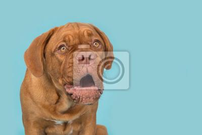 Portrait d'un dogue de bordeaux regardant drôle et surpris sur un fond bleu turquoise