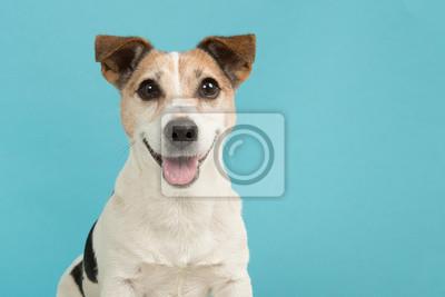 Portrait d'un mignon chien terrier Jack Russell souriant vu de l'avant sur un fond bleu
