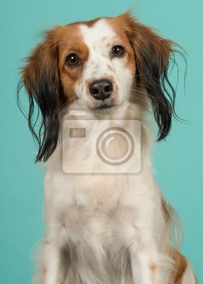 Portrait d'un mignon petit chien néerlandais de sauvagine en regardant la caméra sur un fond bleu turquoise dans une image verticale