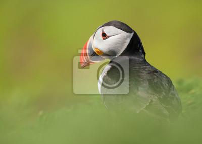 Portrait d'un oiseau-nénuphar entre herbe verte douce