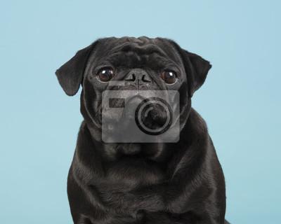 Portrait d'un roquet noir en regardant la caméra sur un fond bleu
