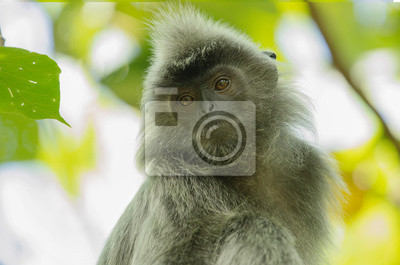 Portrait d'un singe à feuille d'argent posé sur un arbre à Bornéo
