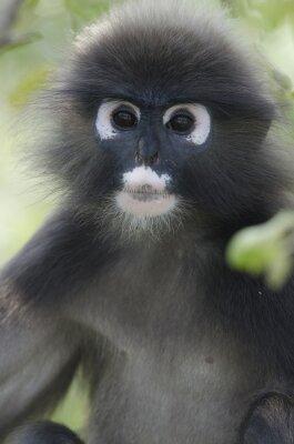 Portrait d'un singe à feuilles brunes dans un arbre
