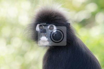 Portrait d'un singe à feuilles sombre dans un arbre