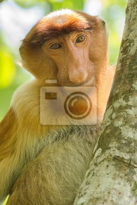 Portrait d'un singe proboscide vu de face dans un arbre dans une image verticale