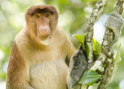 Portrait d'un singe proboscis vu de face se reposer dans un arbre