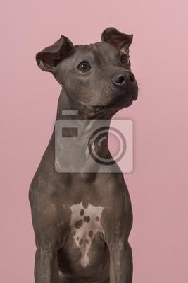 Portrait d'un Terrier américain sans cheveux, levant les yeux sur un fond rose