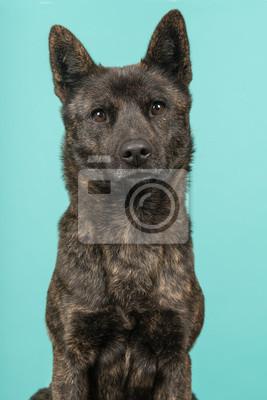 Portrait d'une femelle Kai Ken, chien de race nationale japonaise, regardant la caméra sur un fond bleu turquoise