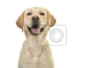 Portrait, de, a, labrador, retriever blond, chien, regarder appareil-photo, à, grand, sourire, isolé, sur, a, fond blanc