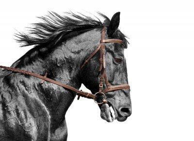 Papiers peints portrait de cheval en noir et blanc dans la bride brun