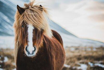 Papiers peints Portrait de cheval sauvage islandais