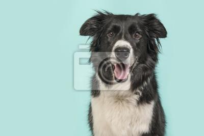 Portrait de chien Border Collie en regardant la caméra sur un fond bleu turquoise