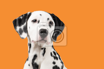 Portrait de chien dalmatien sur fond orange