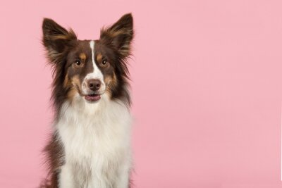 Portrait de chien de berger américain miniature à la recherche de suite avec la bouche ouverte sur un fond rose avec un espace pour la copie