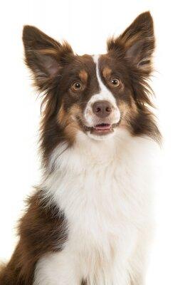 Portrait de chien de berger américain miniature en levant avec la bouche ouverte isolée sur fond blanc