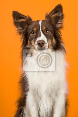 Portrait de chien de berger américain miniature en regardant la caméra sur un fond orange