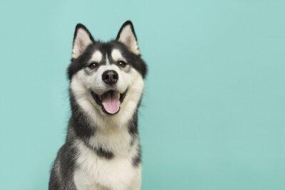 Portrait de chien Husky en regardant la caméra avec la bouche ouverte sur un fond bleu turquoise