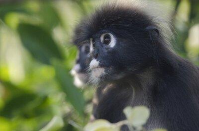 Portrait de deux feuilles de singe sombre dans un arbre à la recherche de suite