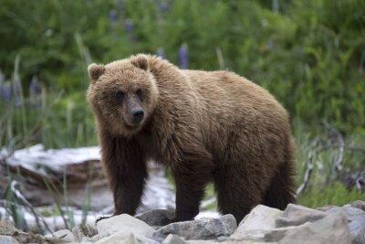 Papiers peints Portrait de l'ours brun sauvage en liberté
