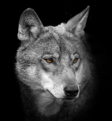 Papiers peints Portrait de loup