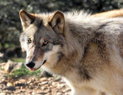 Papiers peints Portrait de loup gris d'Alaska