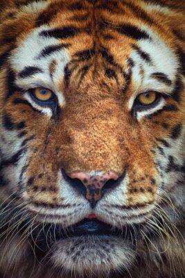 Papiers peints Portrait de tigre