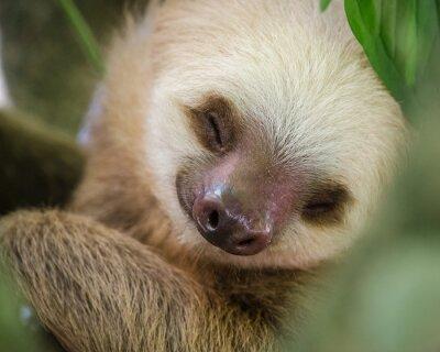Portrait, dormir, paresseux, arbre