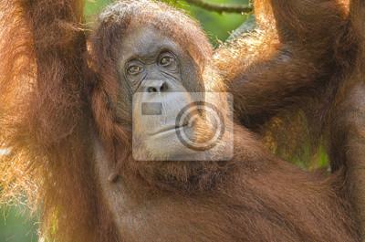 Portrait, femme, orang-outan, pendre, arbre
