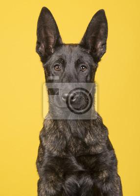 Portrait, jeune, berger hollandais, regarder, appareil-photo, isolé, jaune